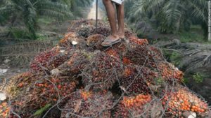 Harvested Palm Oil Fruit. Some workers get as little as a few dollars for an entire day of work.