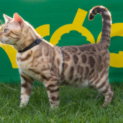The Bengal Cat that has made a Big Impact